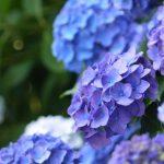鎌倉あじさいの名所の寺はこの3つ!例年の開花時期や見頃はいつ?